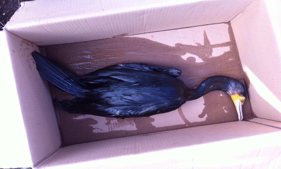 cormorano morto ok