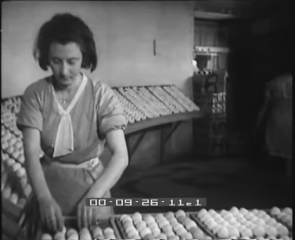 allevamento polli Maccarese 1936