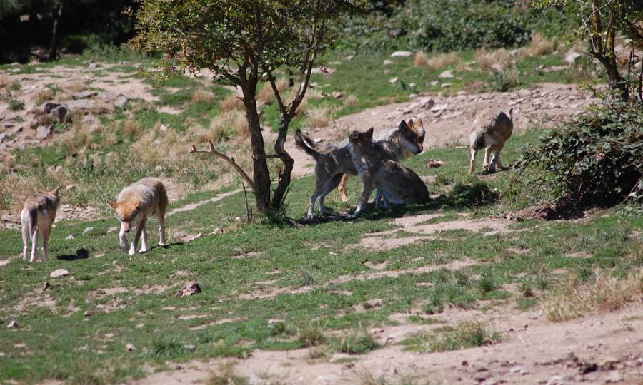 Lupi a Torre In Pietra, 2 vitelli e una mucca morti