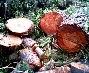 Epilogo triste di un pino