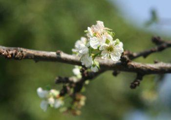 Il prugno in fiore, autunno o primavera?