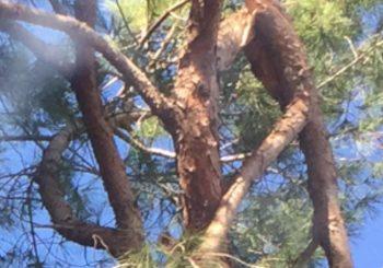 Nucleo Cure Primarie, il ramo di pino a penzoloni