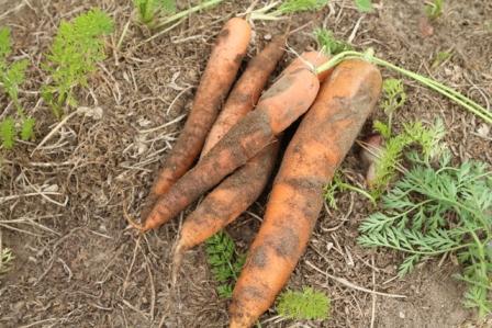 carote k2