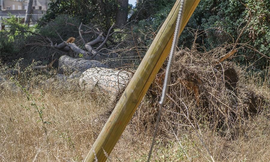 Pineta, crolla un pino nell'area non recintata